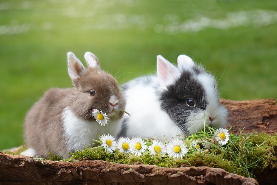 Koop twee konijnen